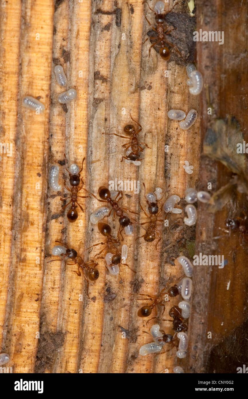 longsting red myrmicine ant (Myrmica ruginodis), carrying their pupas, Germany - Stock Image