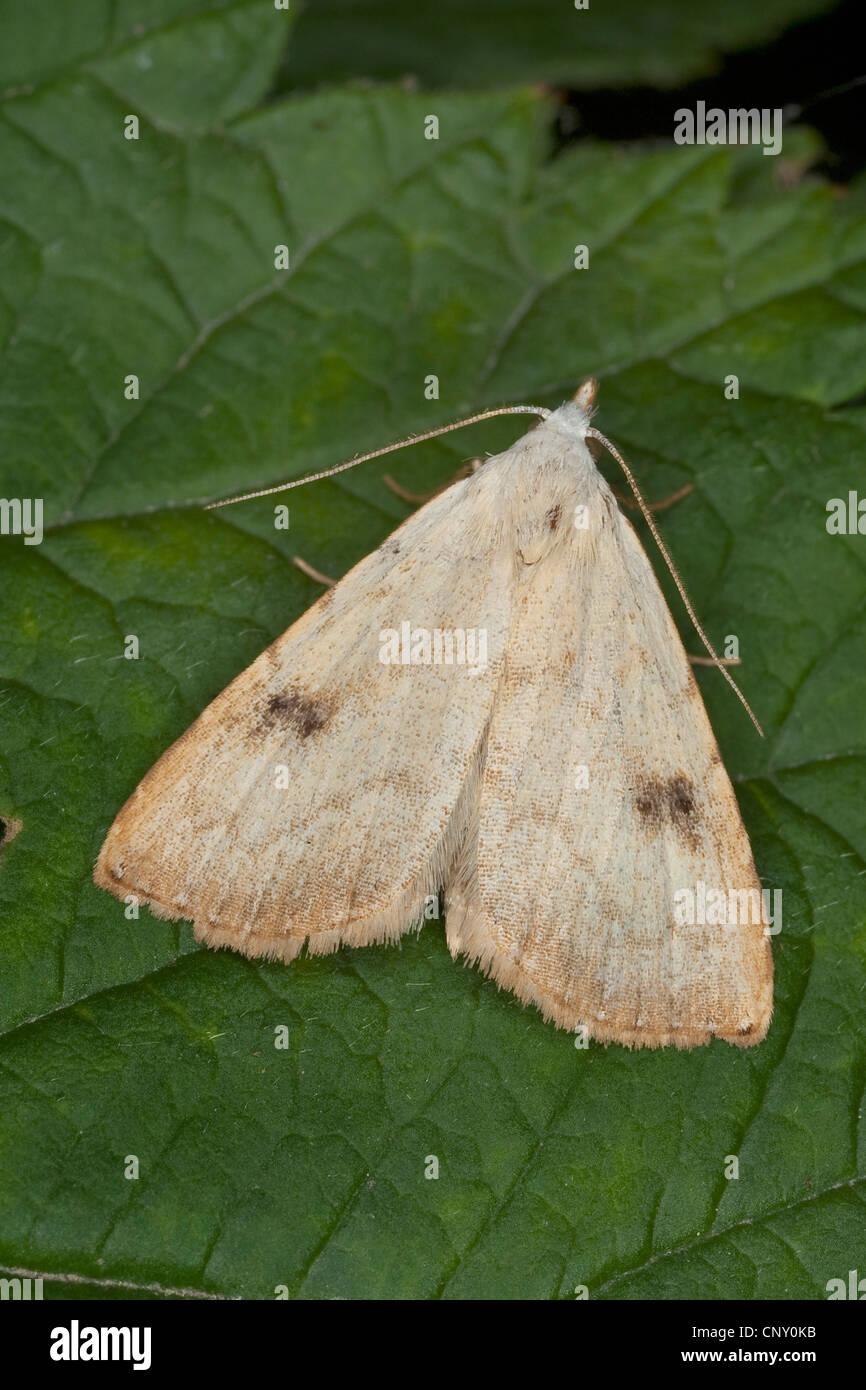 Straw Dot (Rivula sericealis), sitting on a leaf, Germany - Stock Image