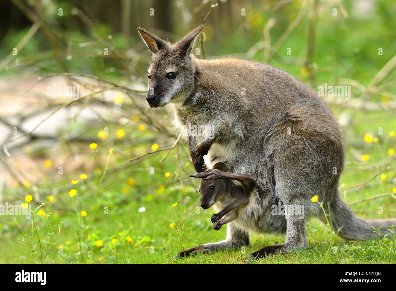 red-necked wallaby, Bennett�s Wallaby (Macropus rufogriseus, Wallabia rufogrisea), mother with pup in its pouch Stock Photo