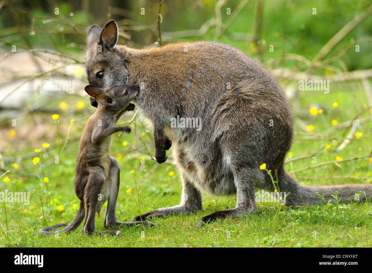 red-necked wallaby, Bennett�s Wallaby (Macropus rufogriseus, Wallabia rufogrisea), mother with pup Stock Photo
