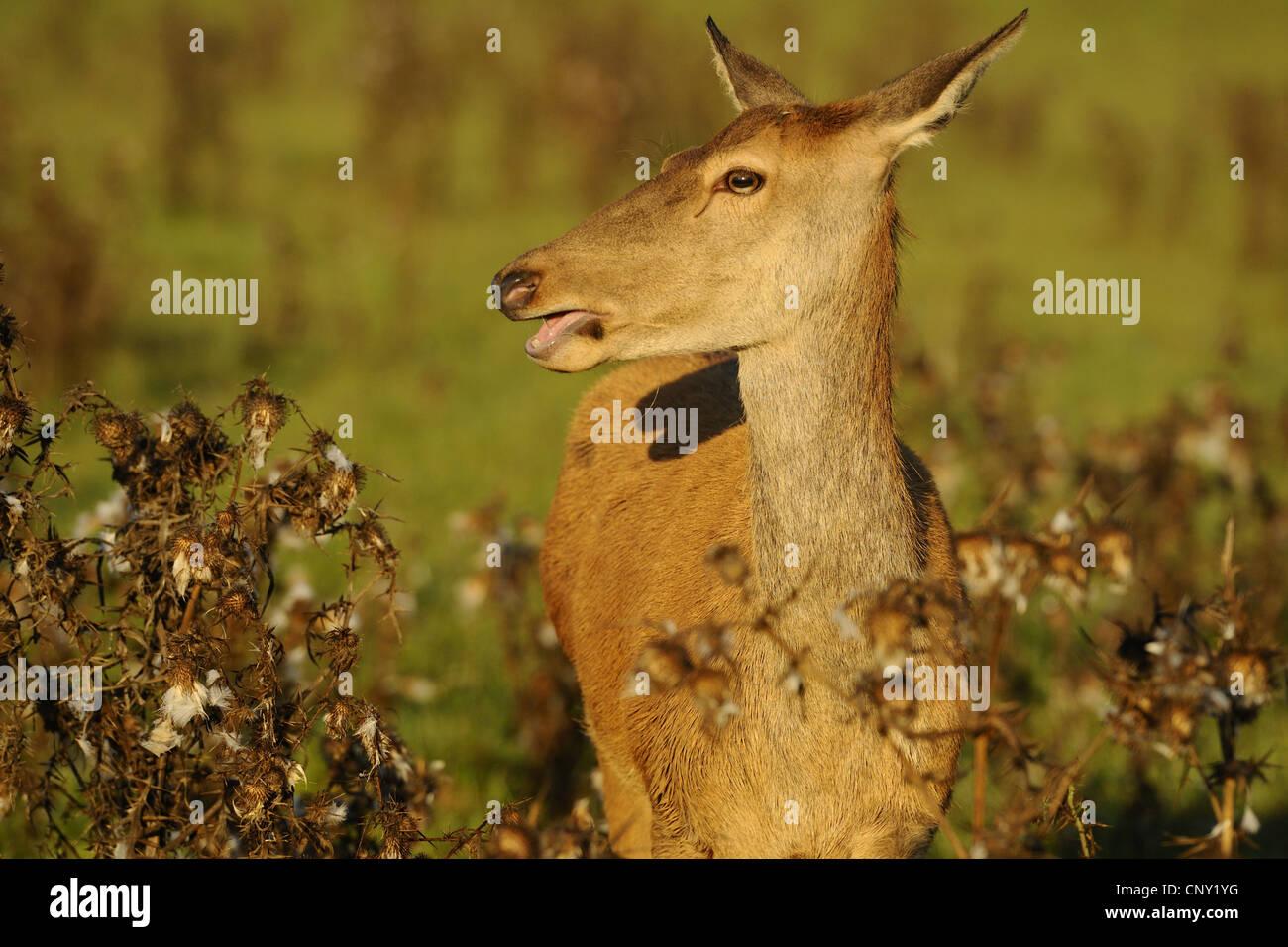red deer (Cervus elaphus), bleating hind, Germany, Bavaria, Upper Palatinate - Stock Image