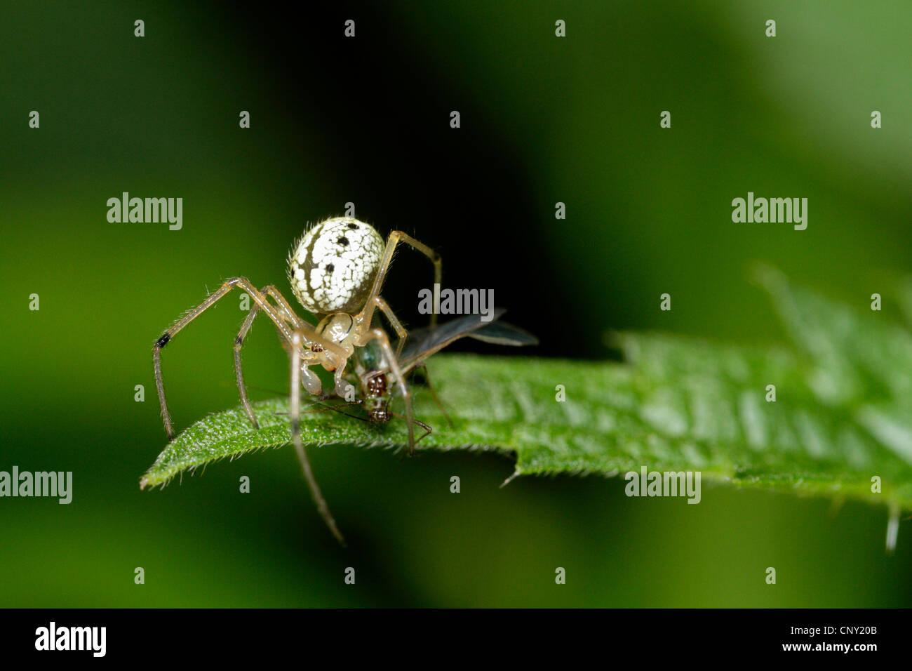 Enoplognatha ovata (Enoplognatha ovata), male tries to capture an aphid, Germany, Bavaria - Stock Image