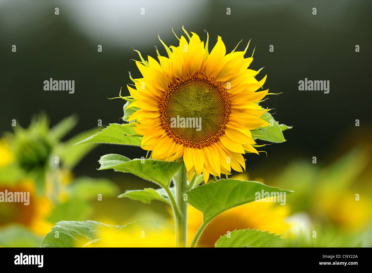 common sunflower (Helianthus annuus), blooming, Germany, Bavaria - Stock Image