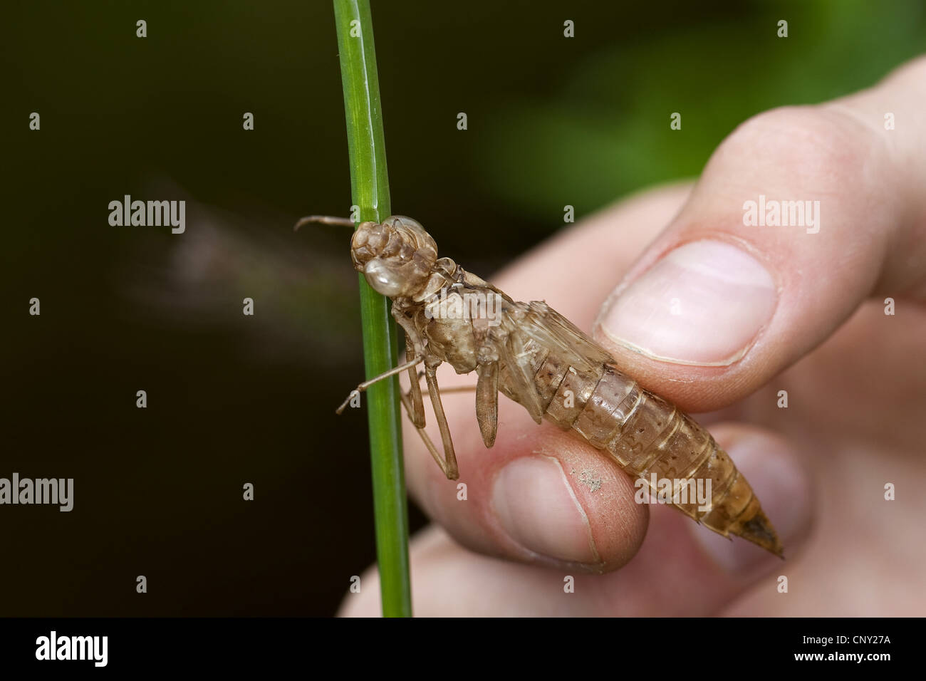 emperor dragonfly (Anax imperator), child collecting an exuvia at a lake shore, Germany Stock Photo