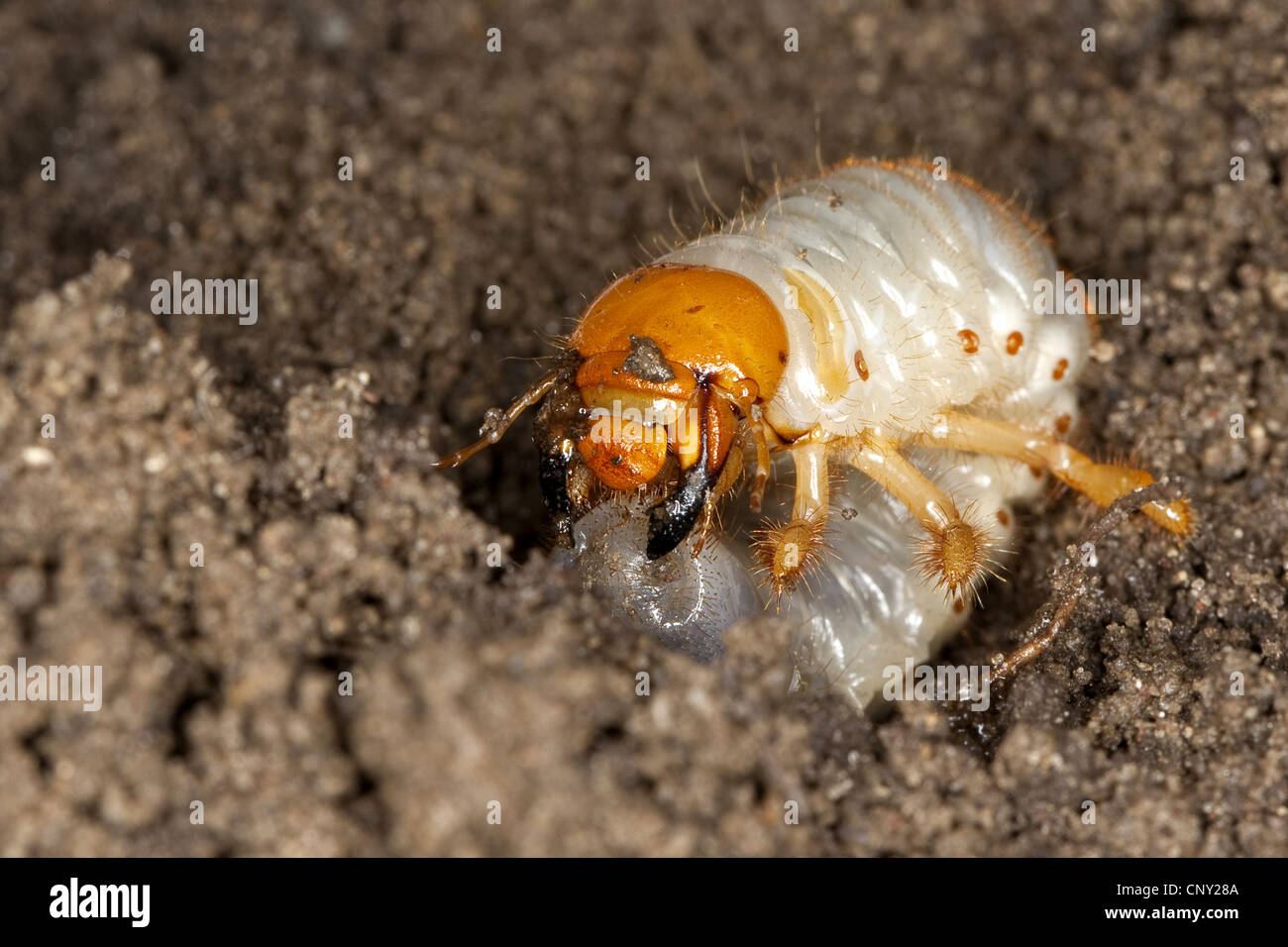 common cockchafer, maybug (Melolontha melolontha), larva in soil ground, Germany Stock Photo