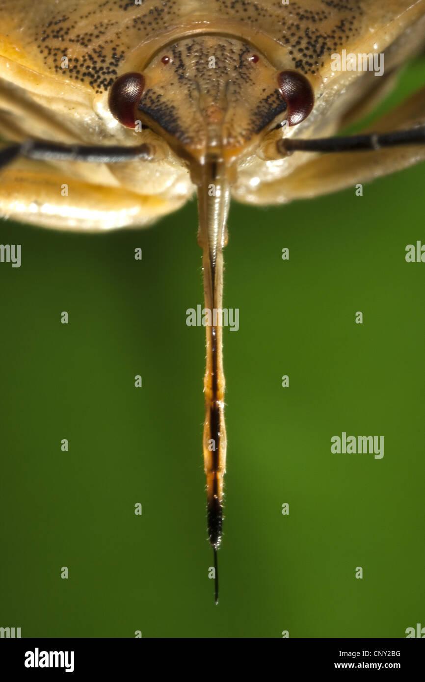 stink bug (Carpocoris fuscispinus), portrait with the proboscis clearly recognizable - Stock Image
