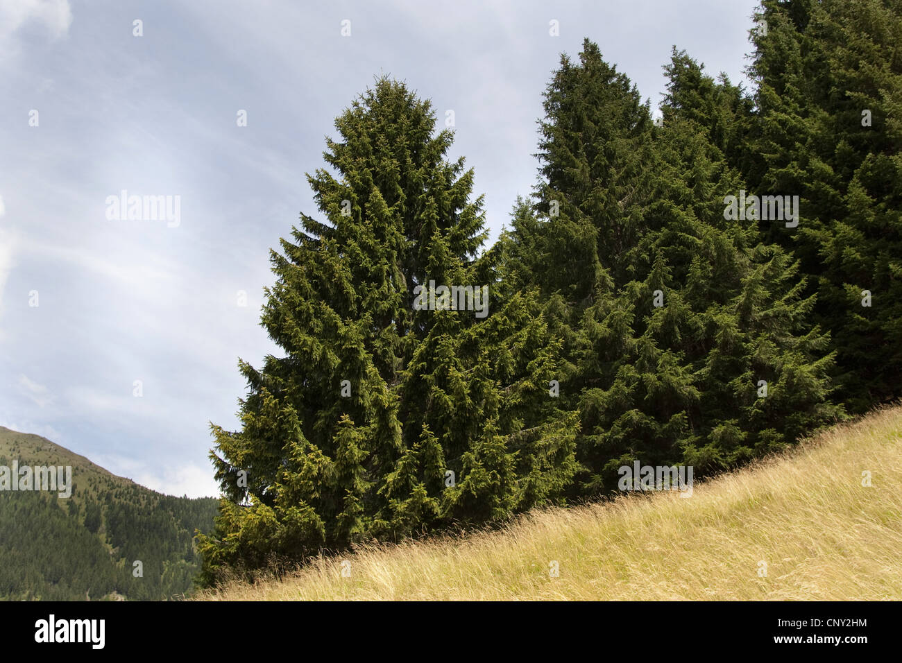 Norway spruce (Picea abies), trees at a forest edge, Germany - Stock Image