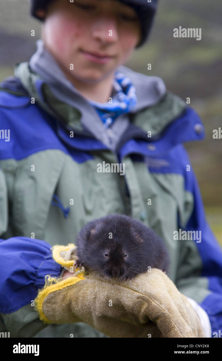 European water vole, northern water vole (Arvicola terrestris), scientist examines an upland water vole, United - Stock Image