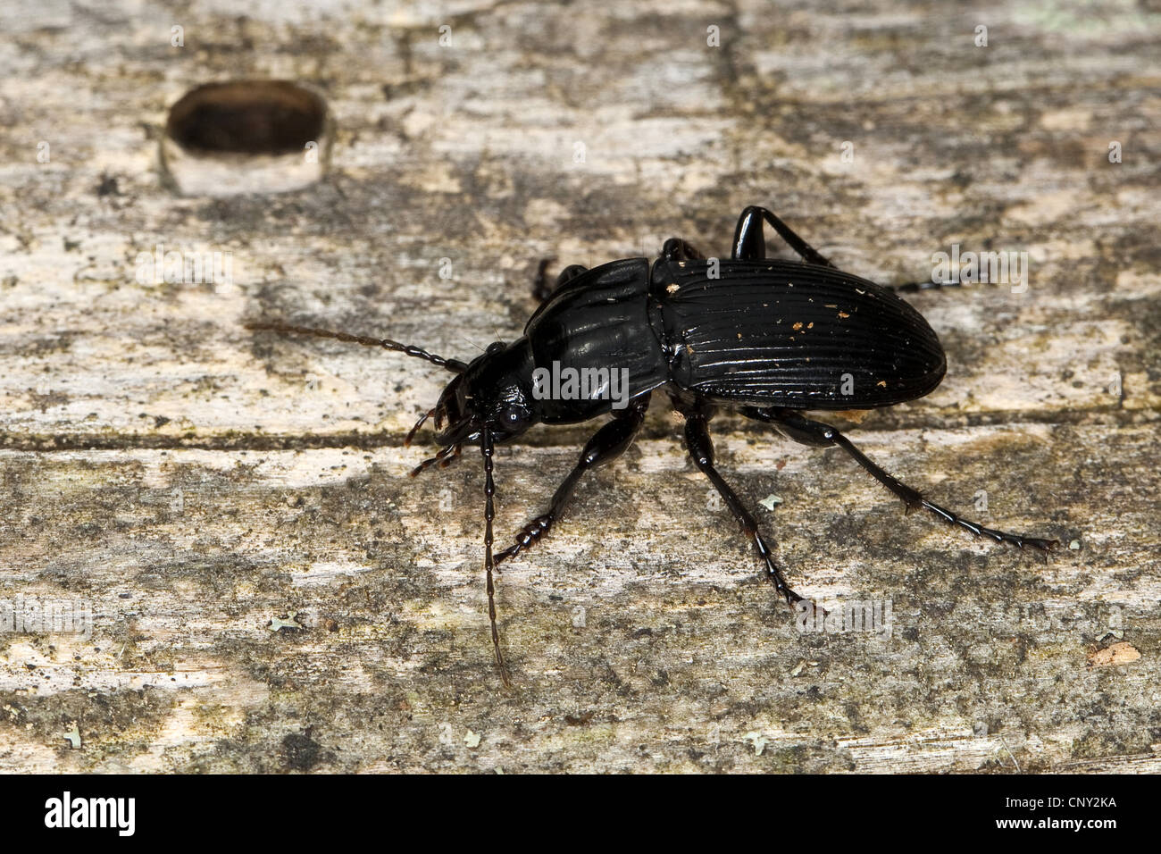 Parallel-sided ground beetle (Abax parallelepipedus), sitting on wood, Germany - Stock Image