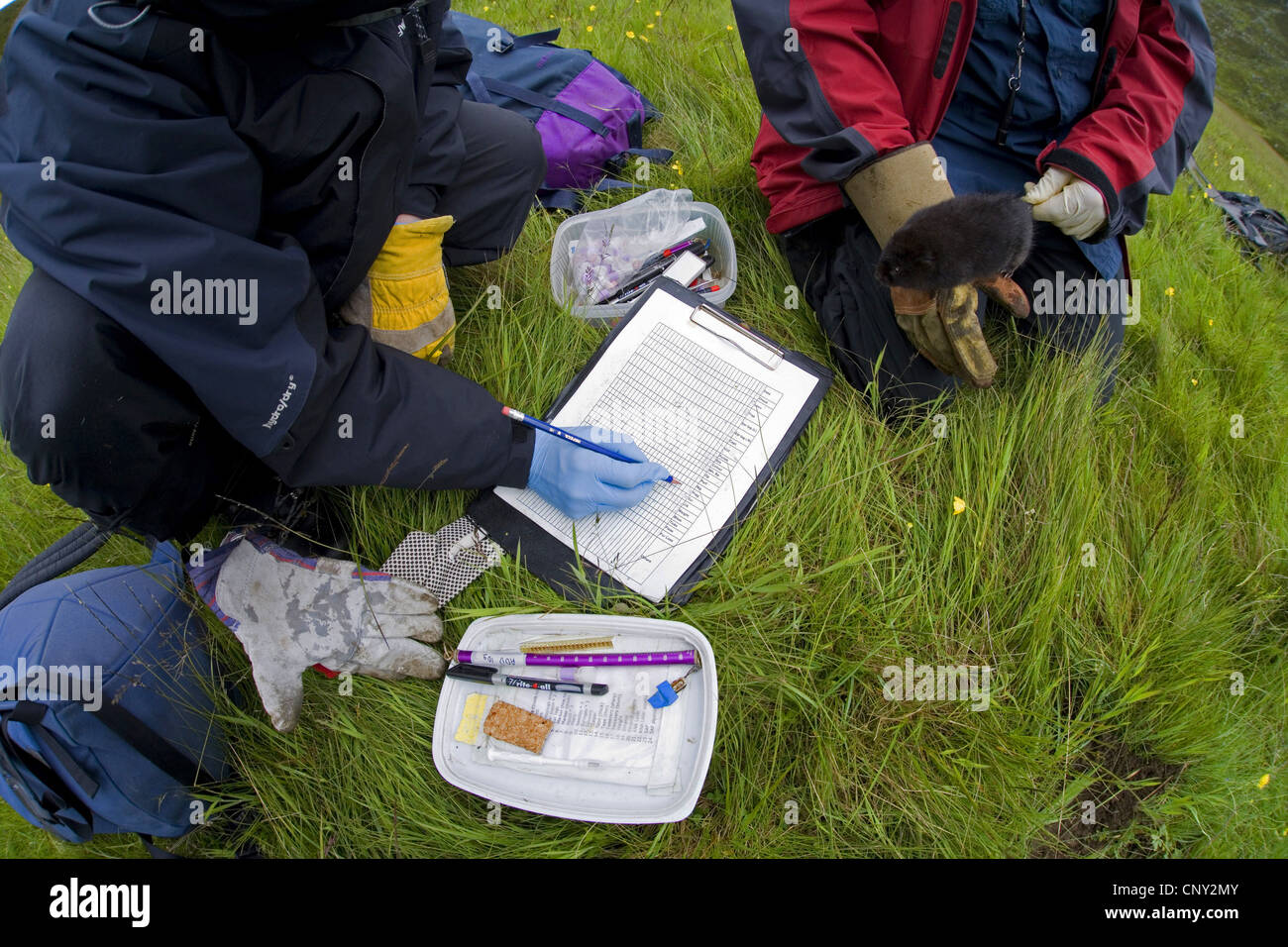 European water vole, northern water vole (Arvicola terrestris), researchers examine an upland water vole as part - Stock Image