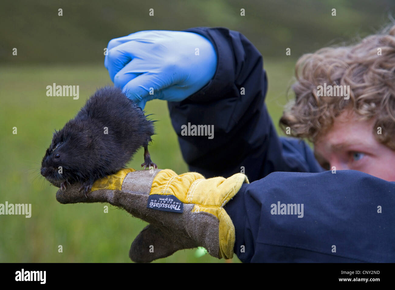 European water vole, northern water vole (Arvicola terrestris), researcher examines an upland water vole for gender - Stock Image