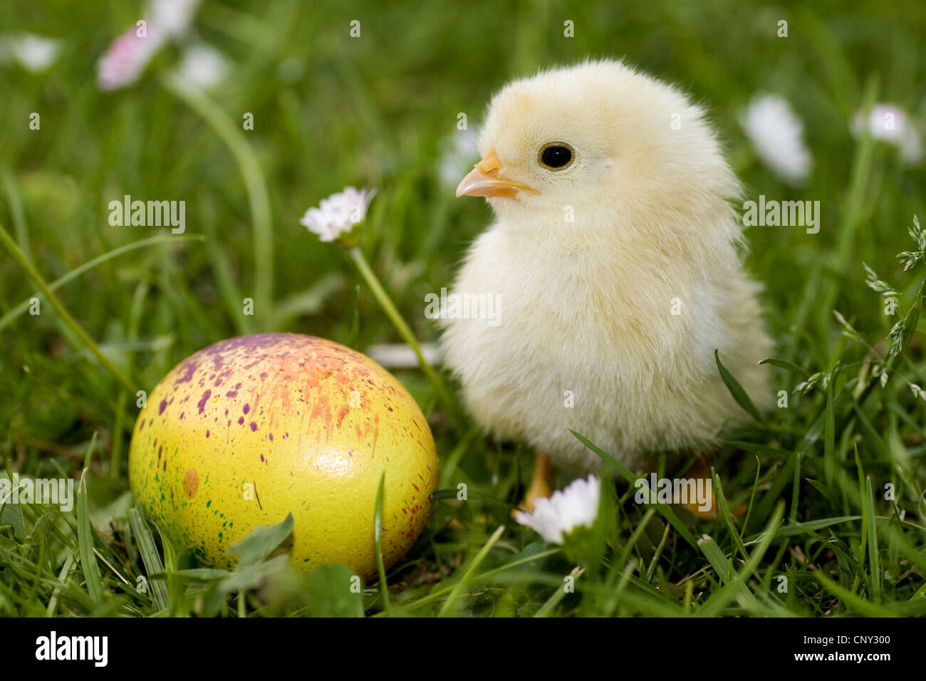 chick with an Easter egg in a meadow Stock Photo