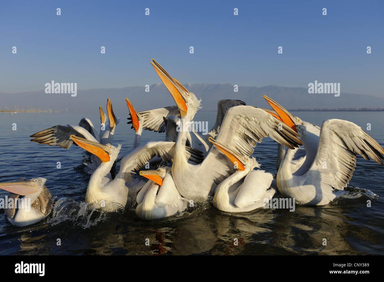Dalmatian pelican (Pelecanus crispus), swimming group looking up, is fed, Greece, Macedonia, Kerkini Lake - Stock Image