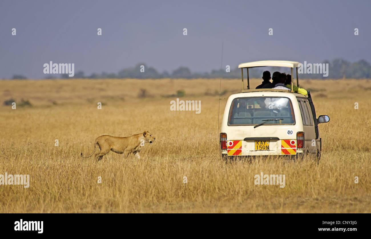 lion (Panthera leo), Safari tourists meet with the lion in Masai Mara, Kenya, Masai Mara National Park - Stock Image
