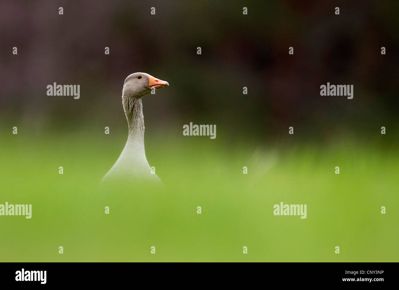 greylag goose (Anser anser), in spring pasture, United Kingdom, Scotland, Cairngorms National Park - Stock Image