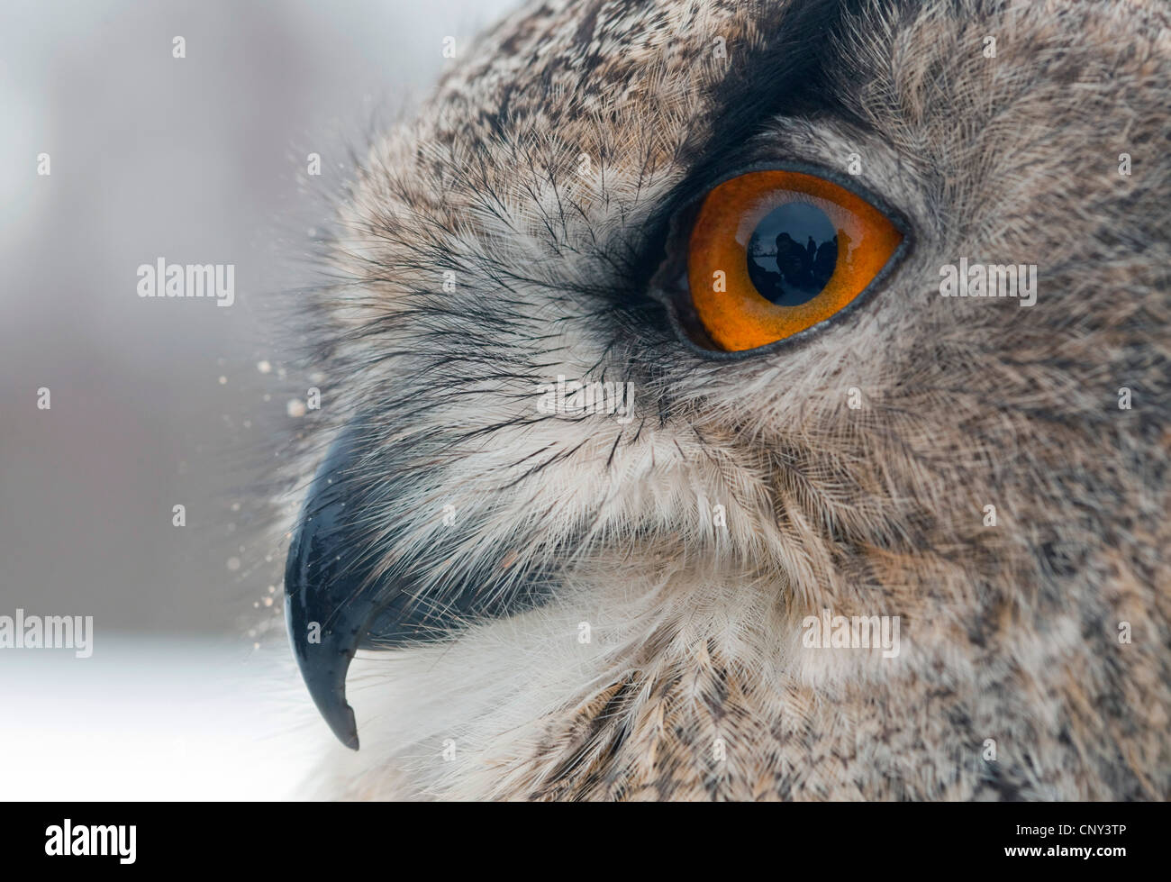 northern eagle owl (Bubo bubo), portrait, United Kingdom, Scotland - Stock Image