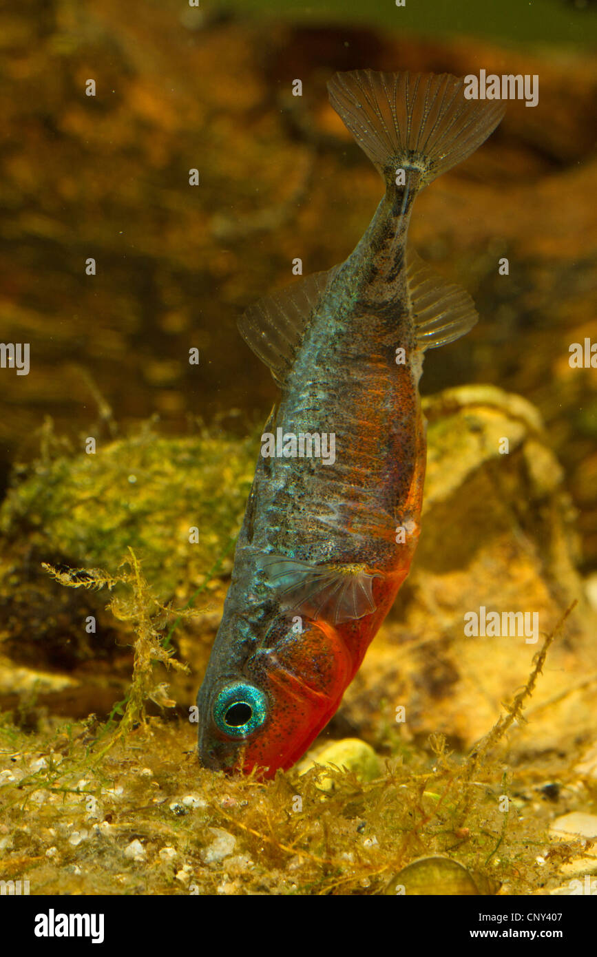 three-spined stickleback (Gasterosteus aculeatus), male fostering the nest - Stock Image