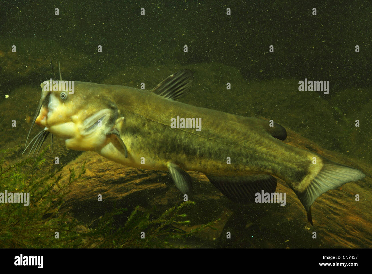 black bullhead (Ictalurus melas), with mouth wide opened - Stock Image