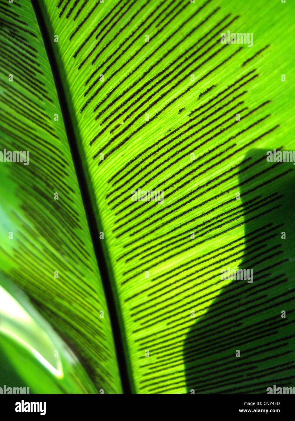 bird's nest fern (Asplenium nidus), detail of leaf with sporangia - Stock Image