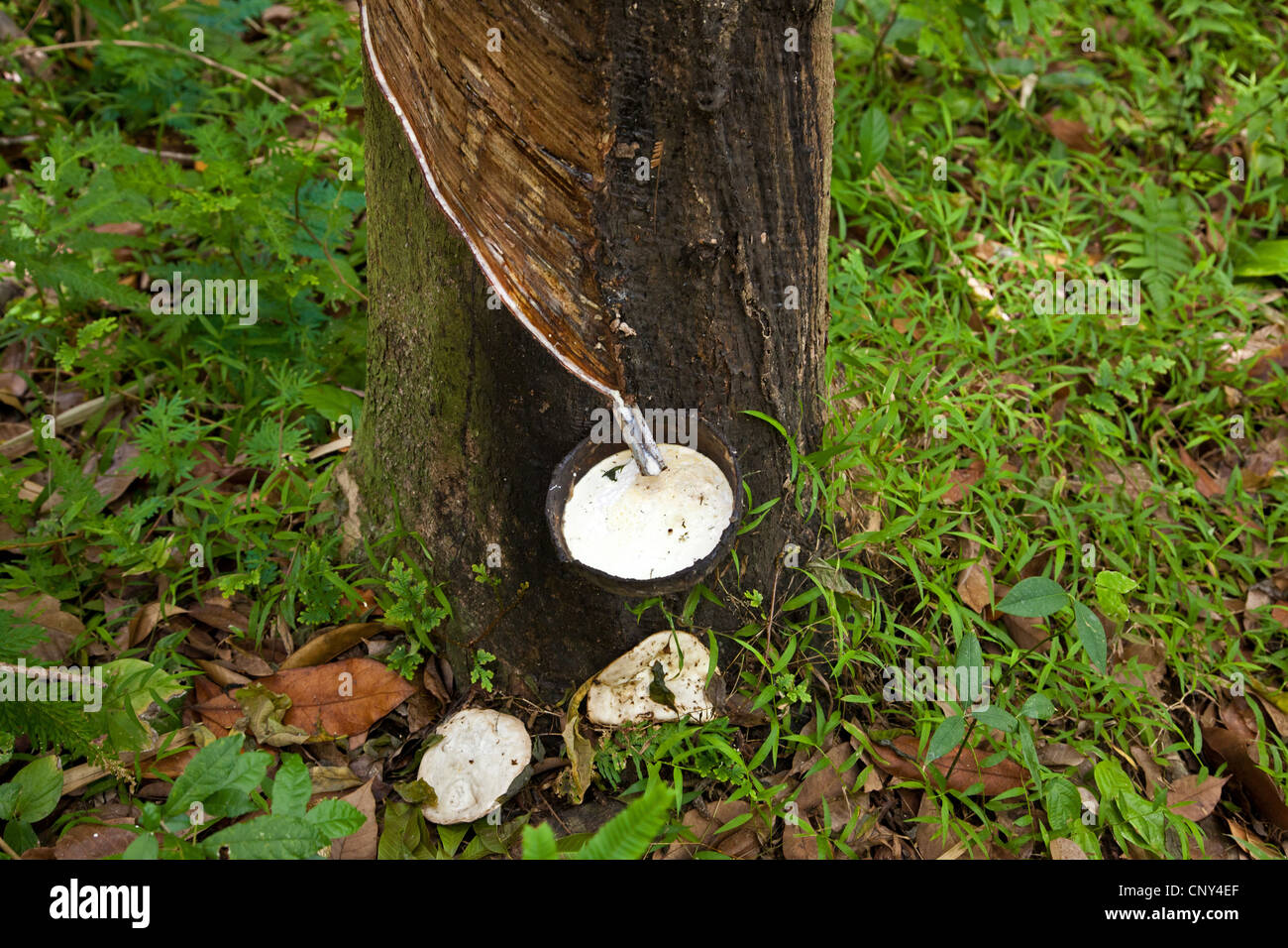 Rubber Tree Plant High Resolution Stock Photography And Images Alamy