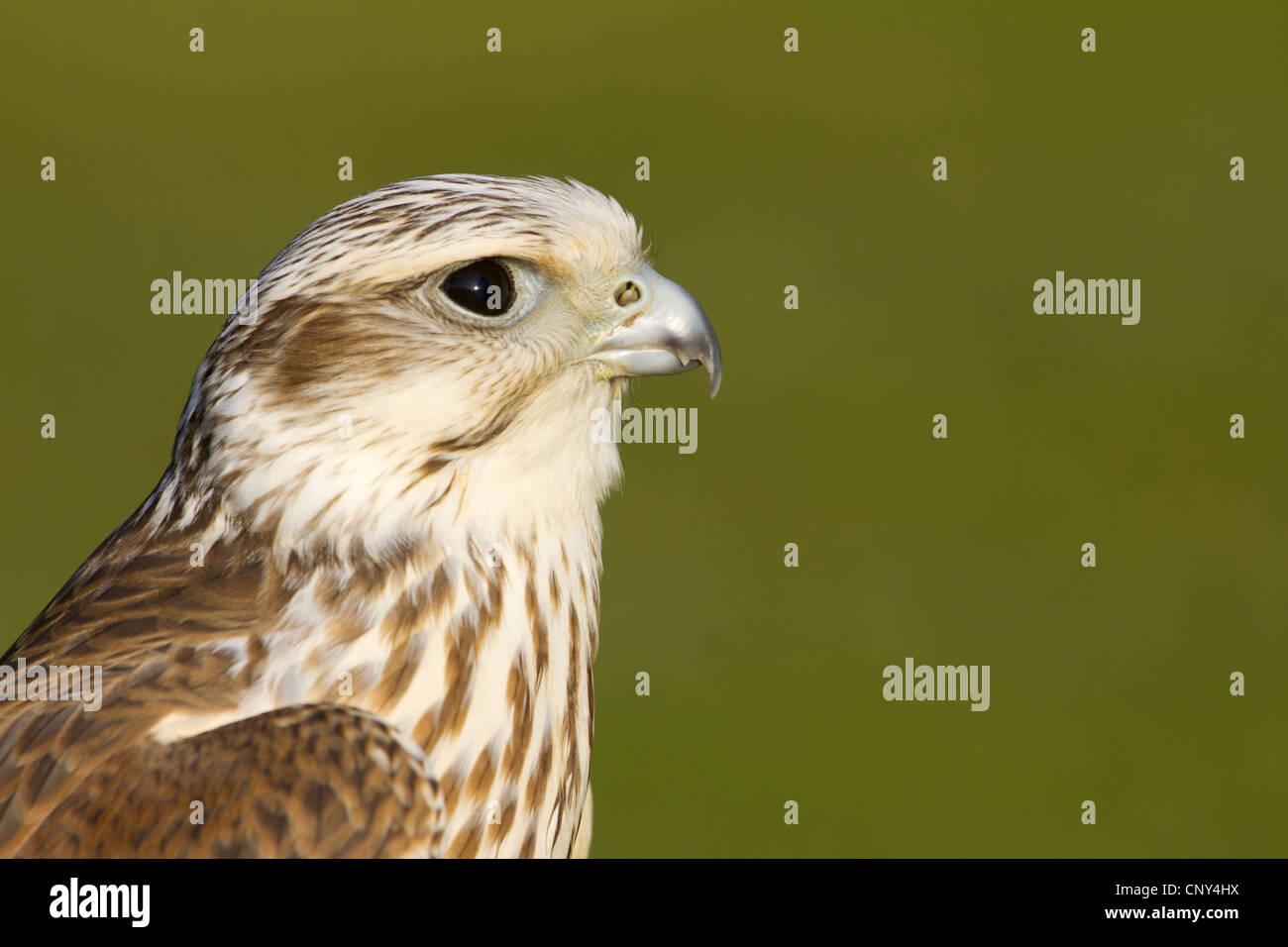 Saker falcon (Falco cherrug), portrait - Stock Image