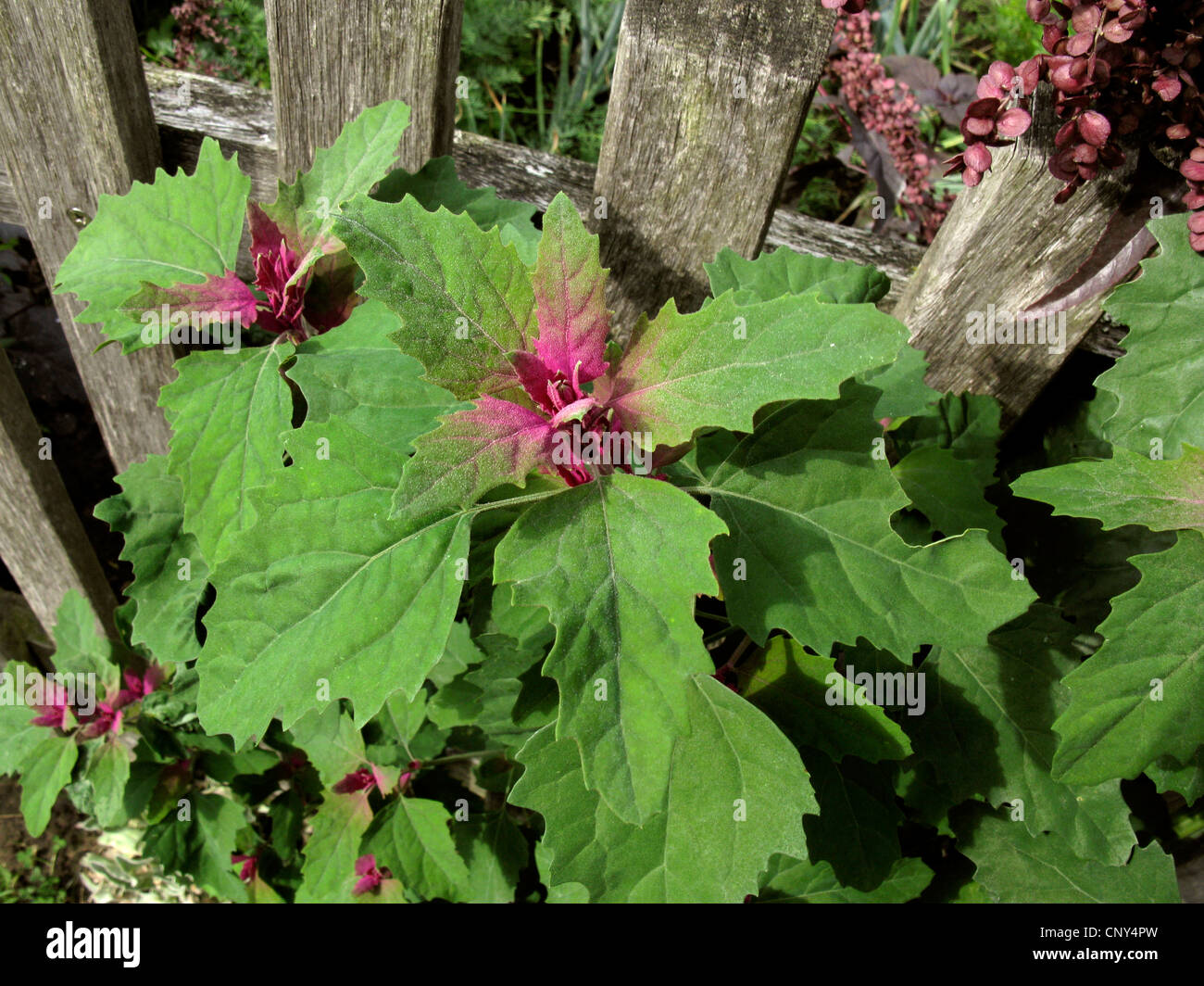 Magenta lamb's quarters, Tree Spinach (Chenopodium giganteum), at a garden fence, Germany - Stock Image