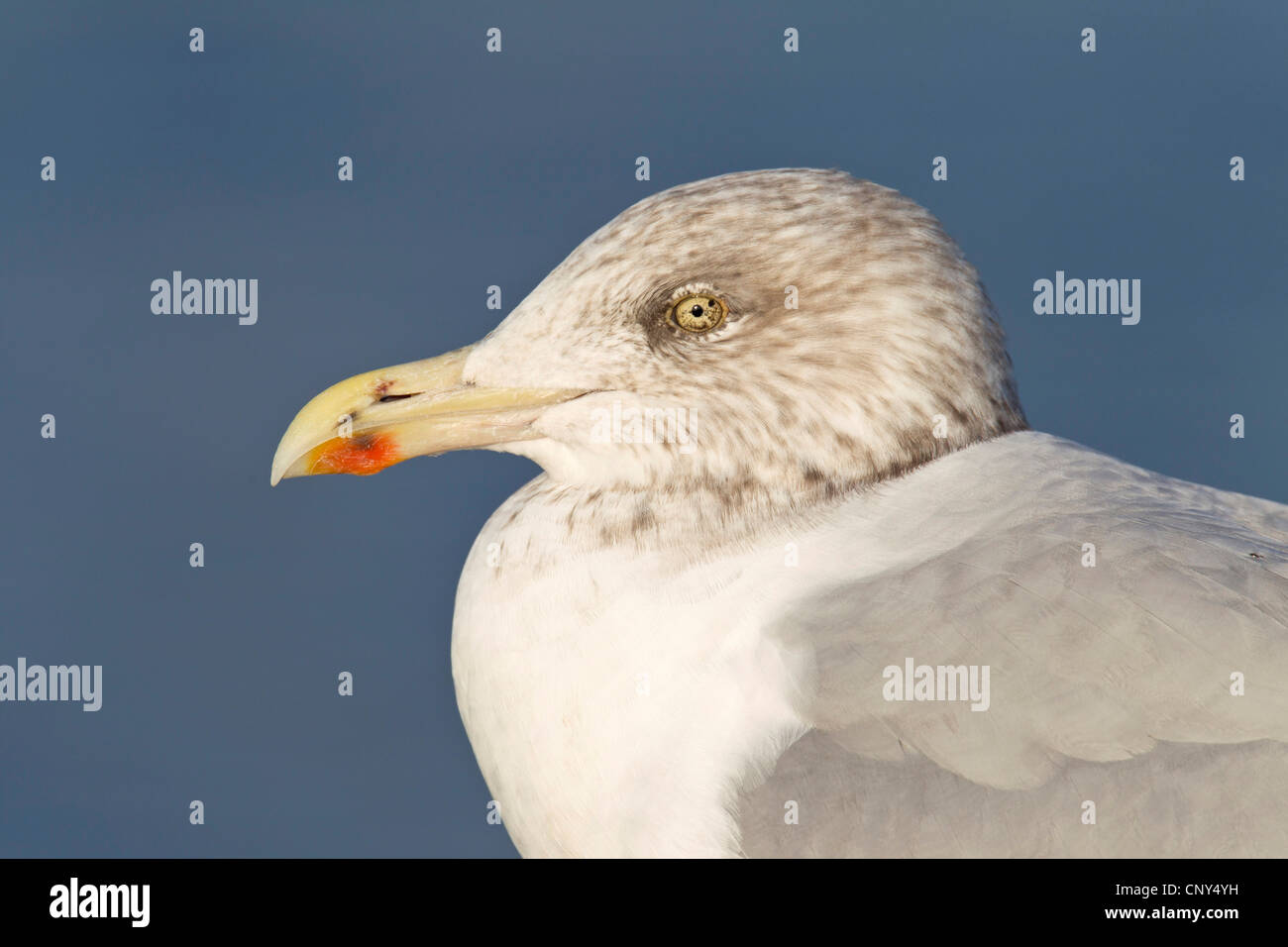herring gull (Larus argentatus), juvenile in third winter dress, portrait, Germany, Schleswig-Holstein - Stock Image