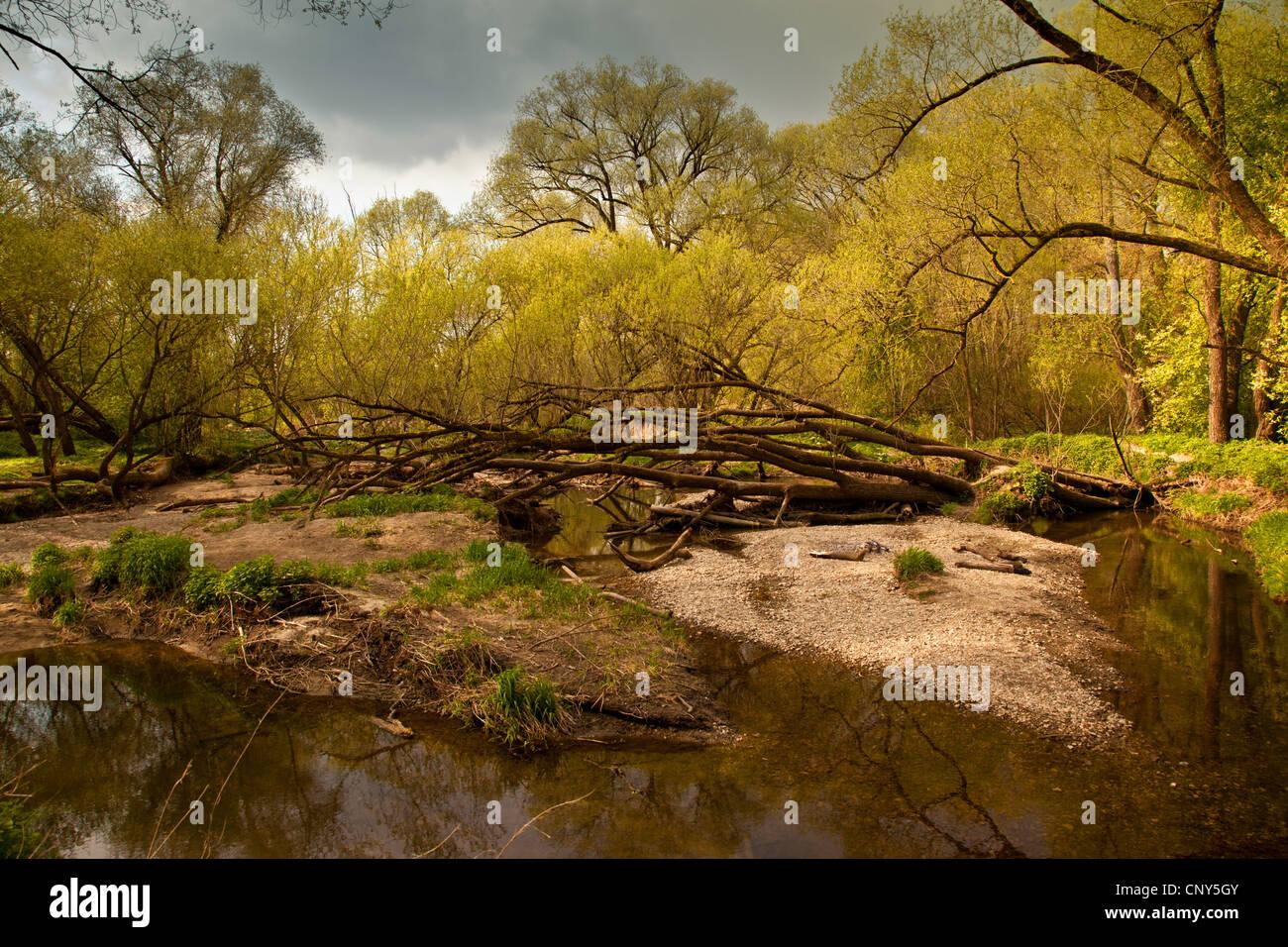 White willow (Salix alba), floodplain forest in spring, Germany, Bavaria, Isental - Stock Image