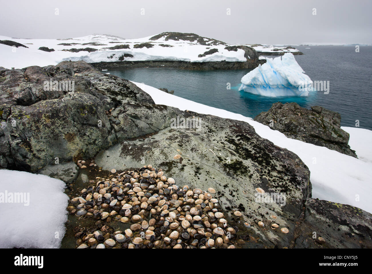 Limpet shells on the rocks at White Island, in the Antarctic Peninsula, Antarctica. December 2007 - Stock Image