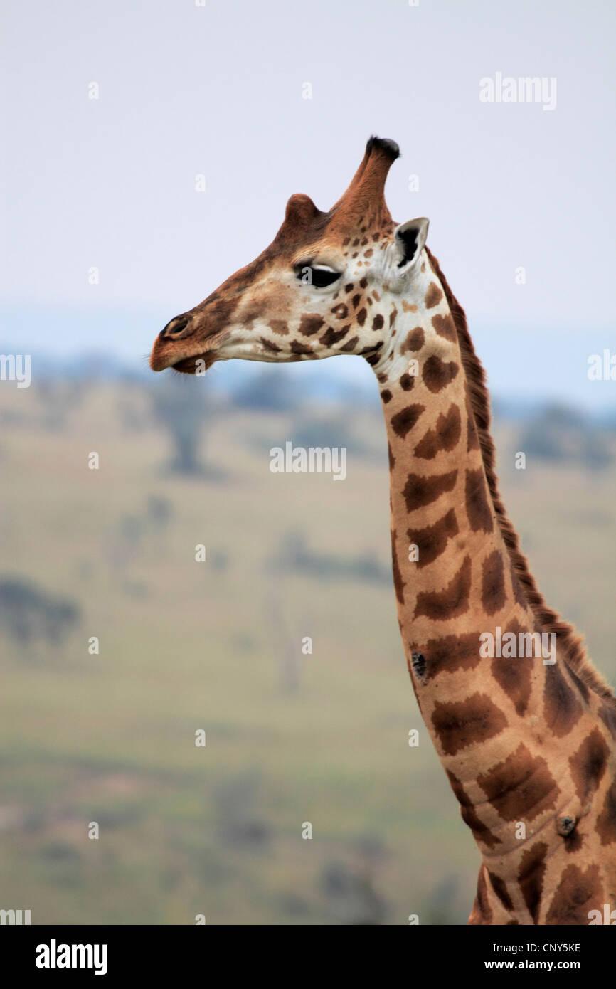 Rothschild's giraffe, Rothschild giraffe, Baringo Giraffe, Ugandan Giraffe (Giraffa camelopardalis rothschildi), - Stock Image
