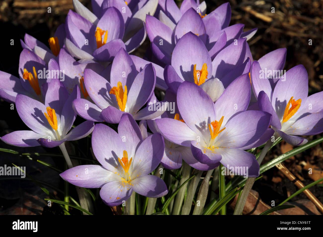 Early Crocus (Crocus tommasinianus), blooming - Stock Image