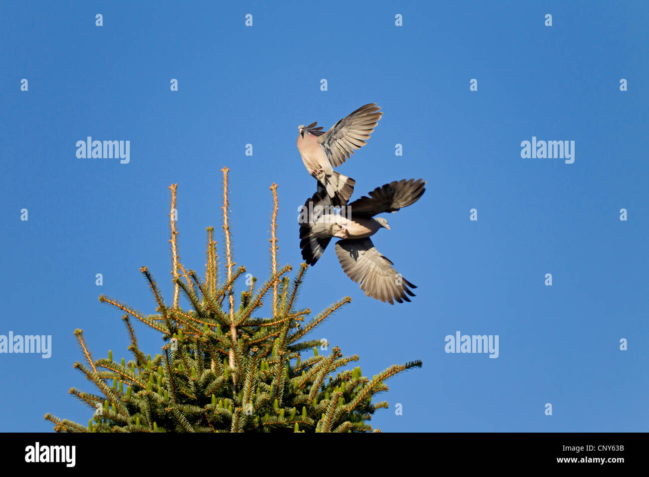 wood pigeon (Columba palumbus), two birds fighting in the air for a nesting place in a tree top, Germany, Schleswig - Stock Image