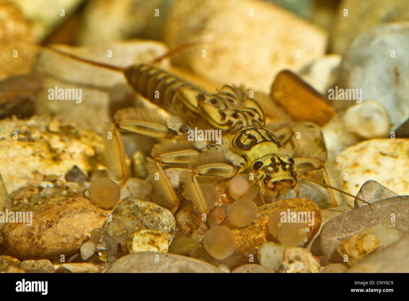 small winter stoneflies (cf. Perla maxima), on the feed, Germany, Bavaria, Salzach - Stock Image