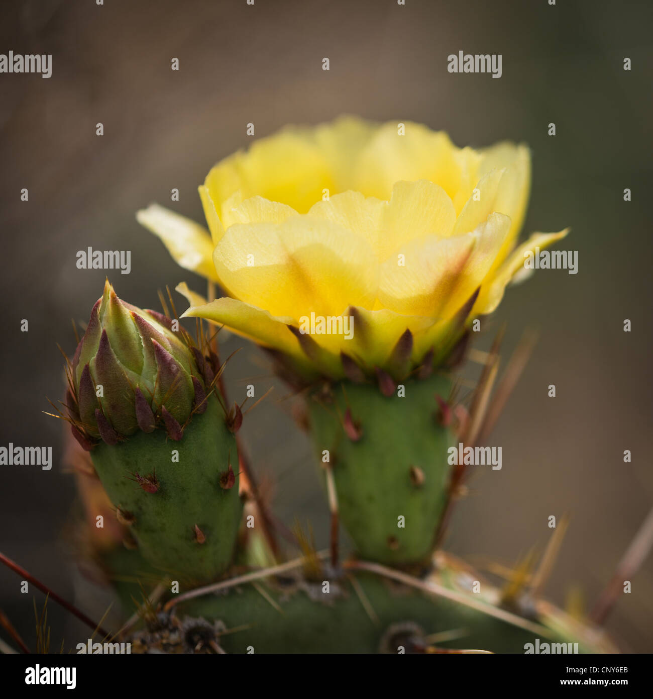 Macro photograph of a yellow flowering Prickly Pear Cactus Stock Photo