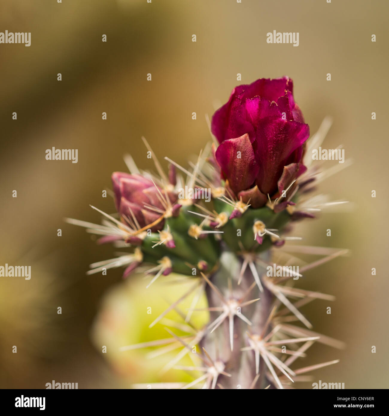 Macro photograph of a Buckhorn Cholla blossom and bud with a Teddy Bear Cholla blossom in the background (out of Stock Photo
