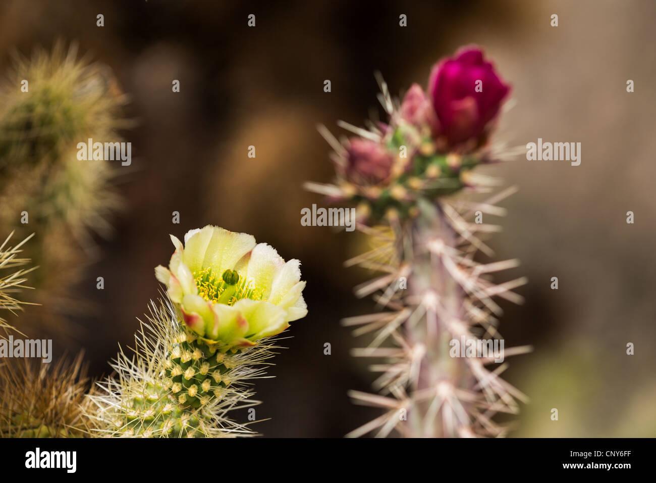 Macro photograph of a Buckhorn Cholla blossom and buds with a Teddy Bear Cholla blossom Stock Photo