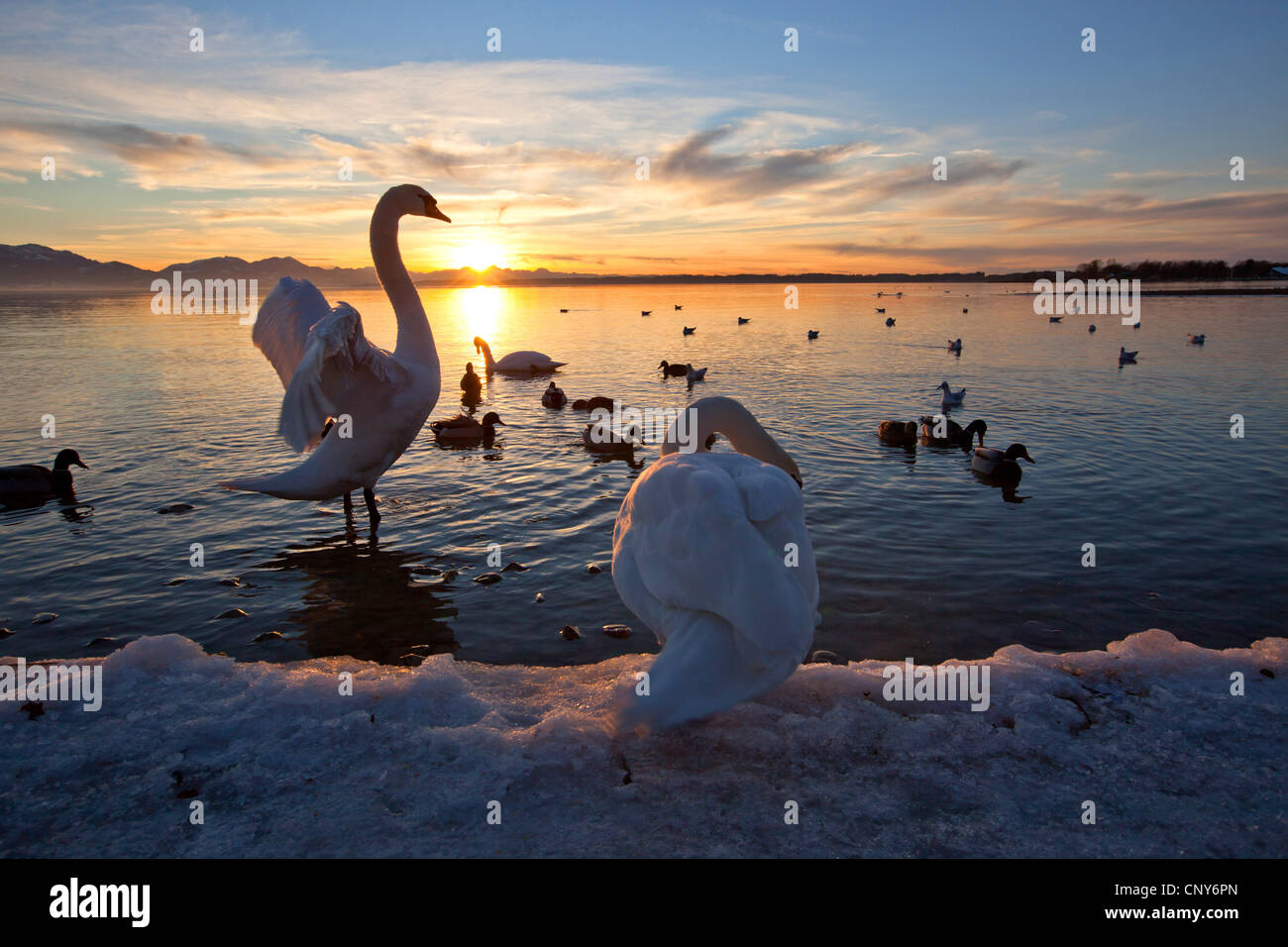 mute swan (Cygnus olor), flapping wings in the sunset, Germany, Bavaria, Lake Chiemsee - Stock Image
