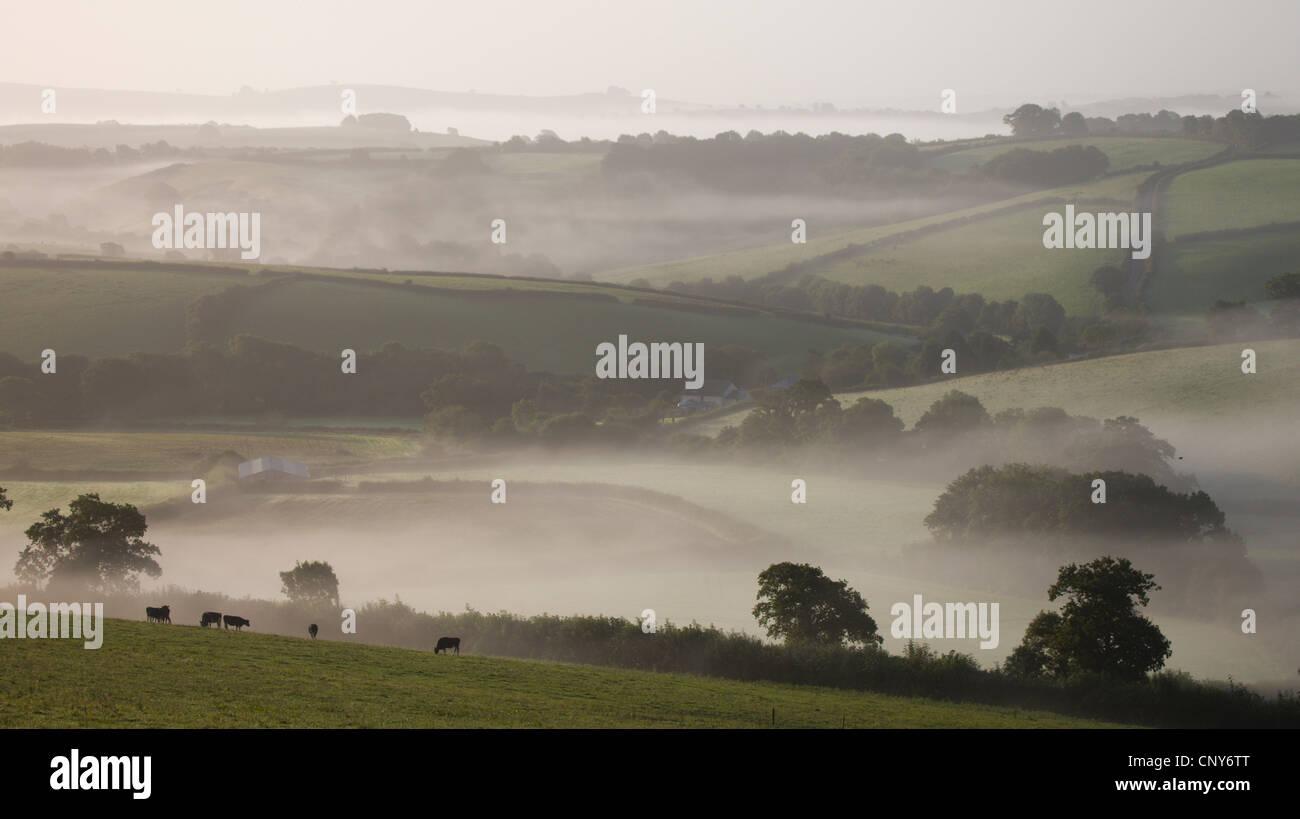 Dairy cattle graze in misty farmland near Crediton, Mid Devon, England - Stock Image