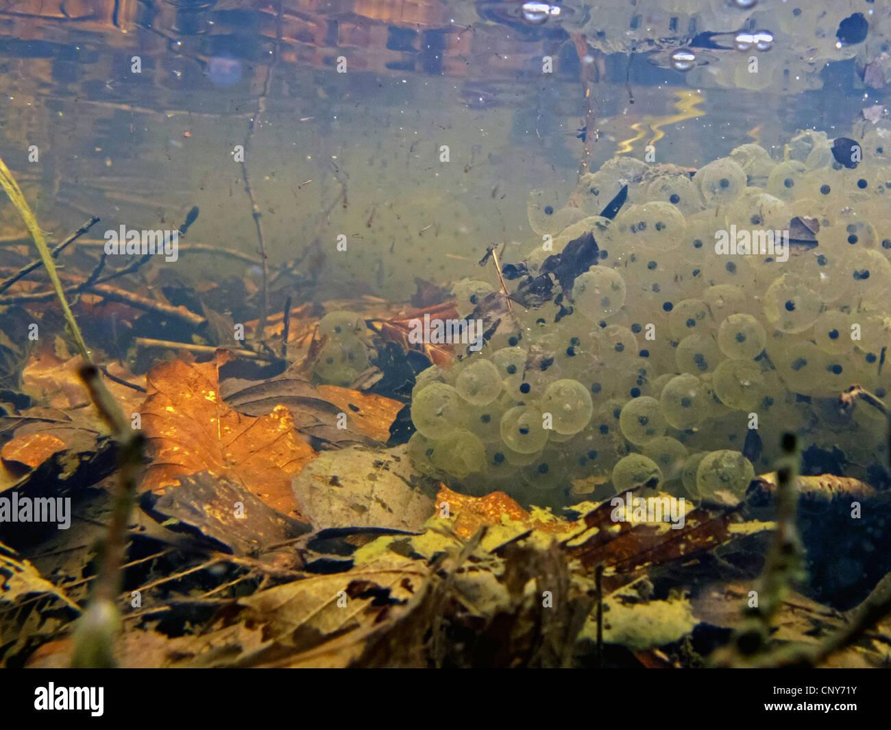 common frog, grass frog (Rana temporaria), spawn clumps, Germany, Bavaria - Stock Image