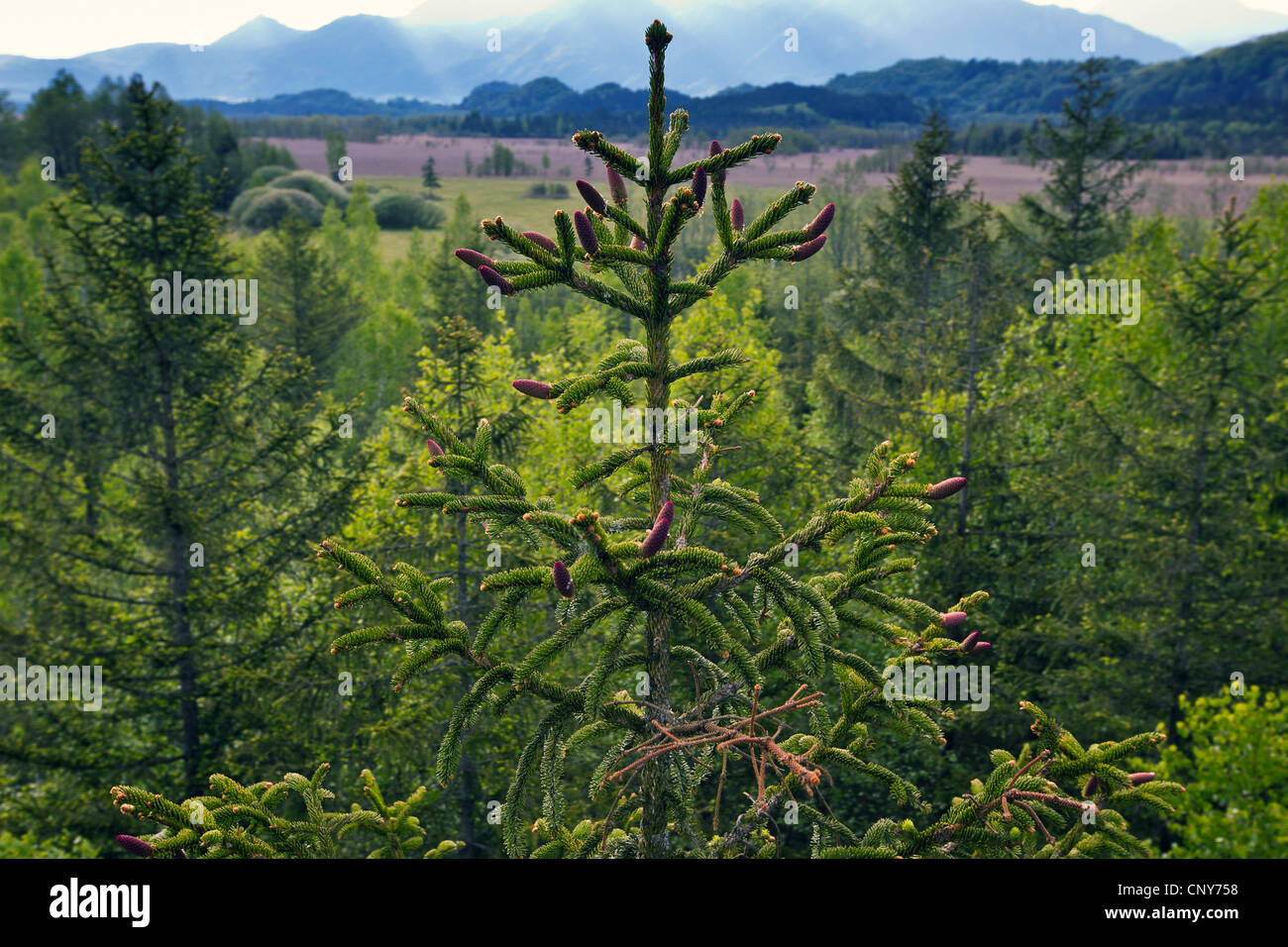Norway spruce (Picea abies), flowering cones on a tree, Germany, Bavaria, Murnauer Moos - Stock Image