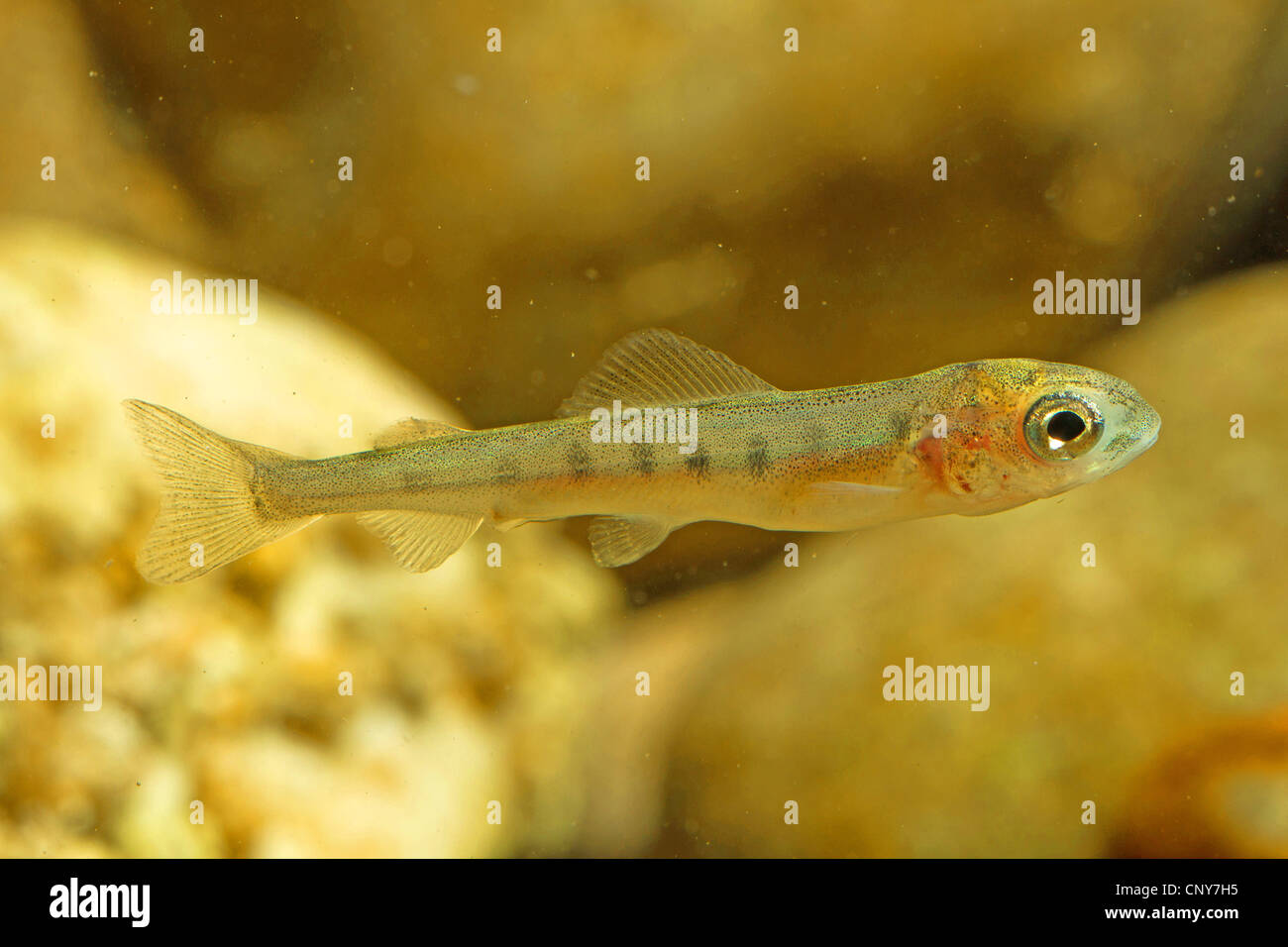 grayling (Thymallus thymallus), juvenile of 35 mm - Stock Image