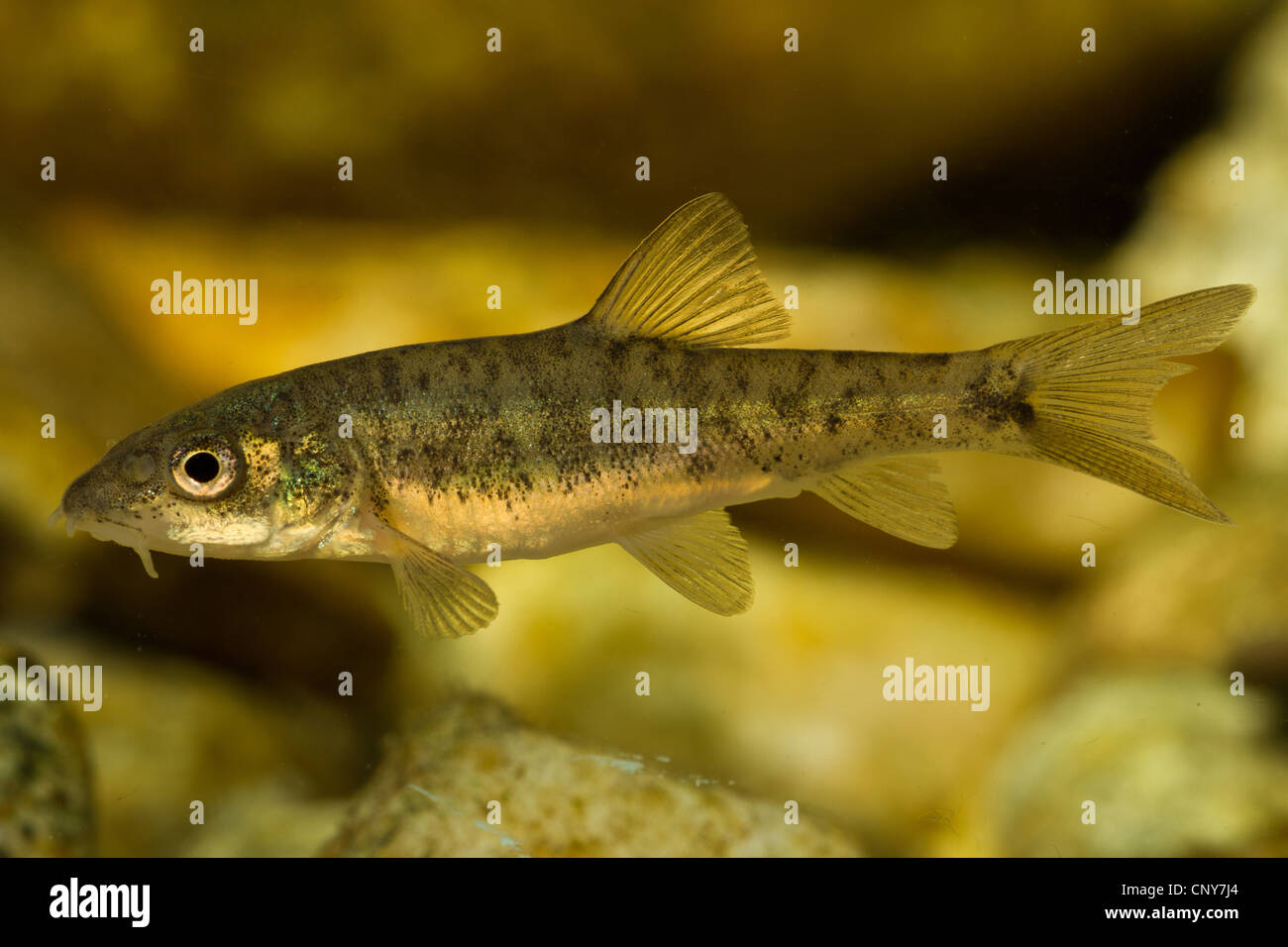 barbel (Barbus barbus), juvenile of 30 mm, Germany, Bavaria, Isental - Stock Image