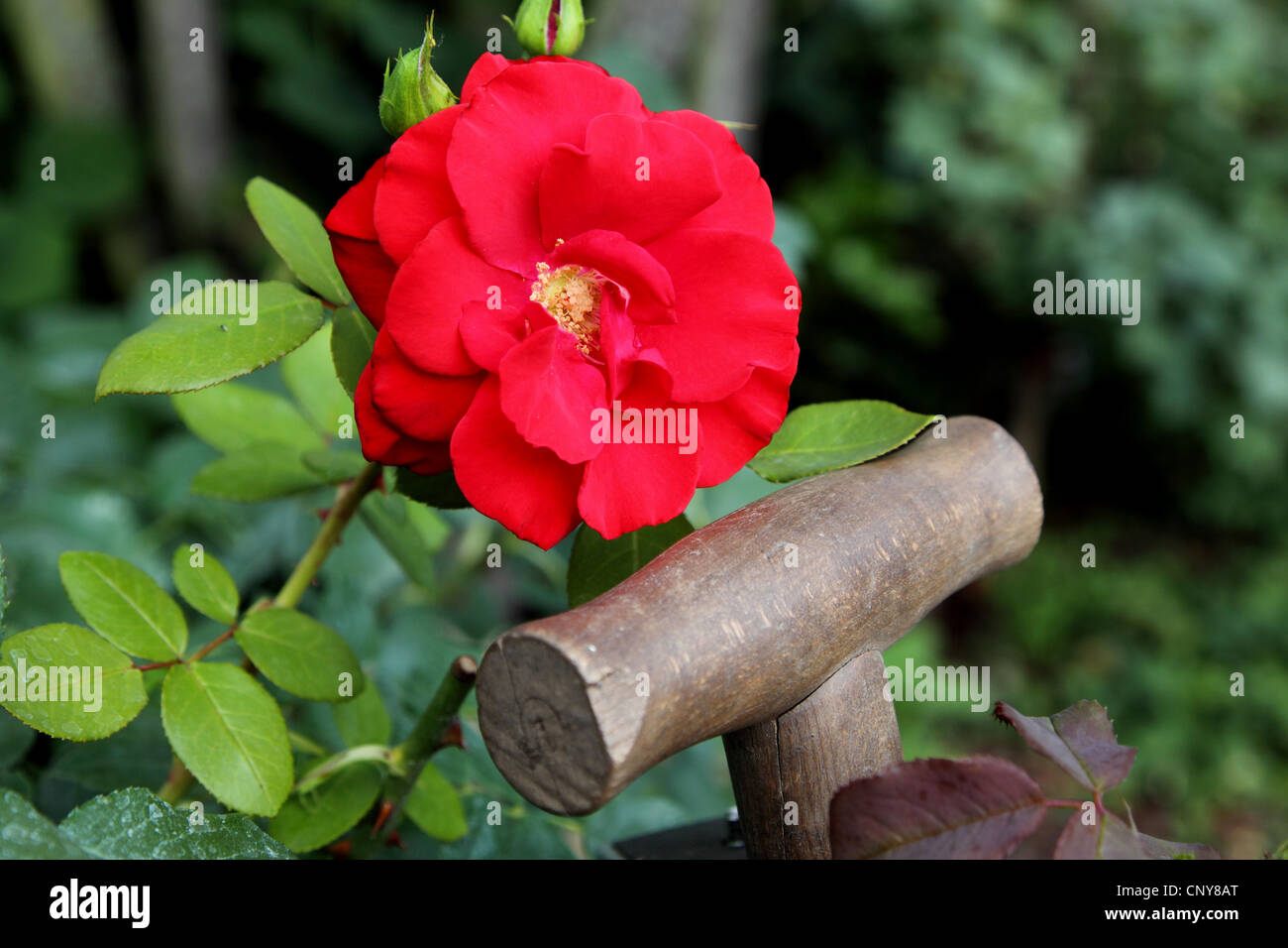 ornamental rose (Rosa spec.), Rose and spade in the garden - Stock Image