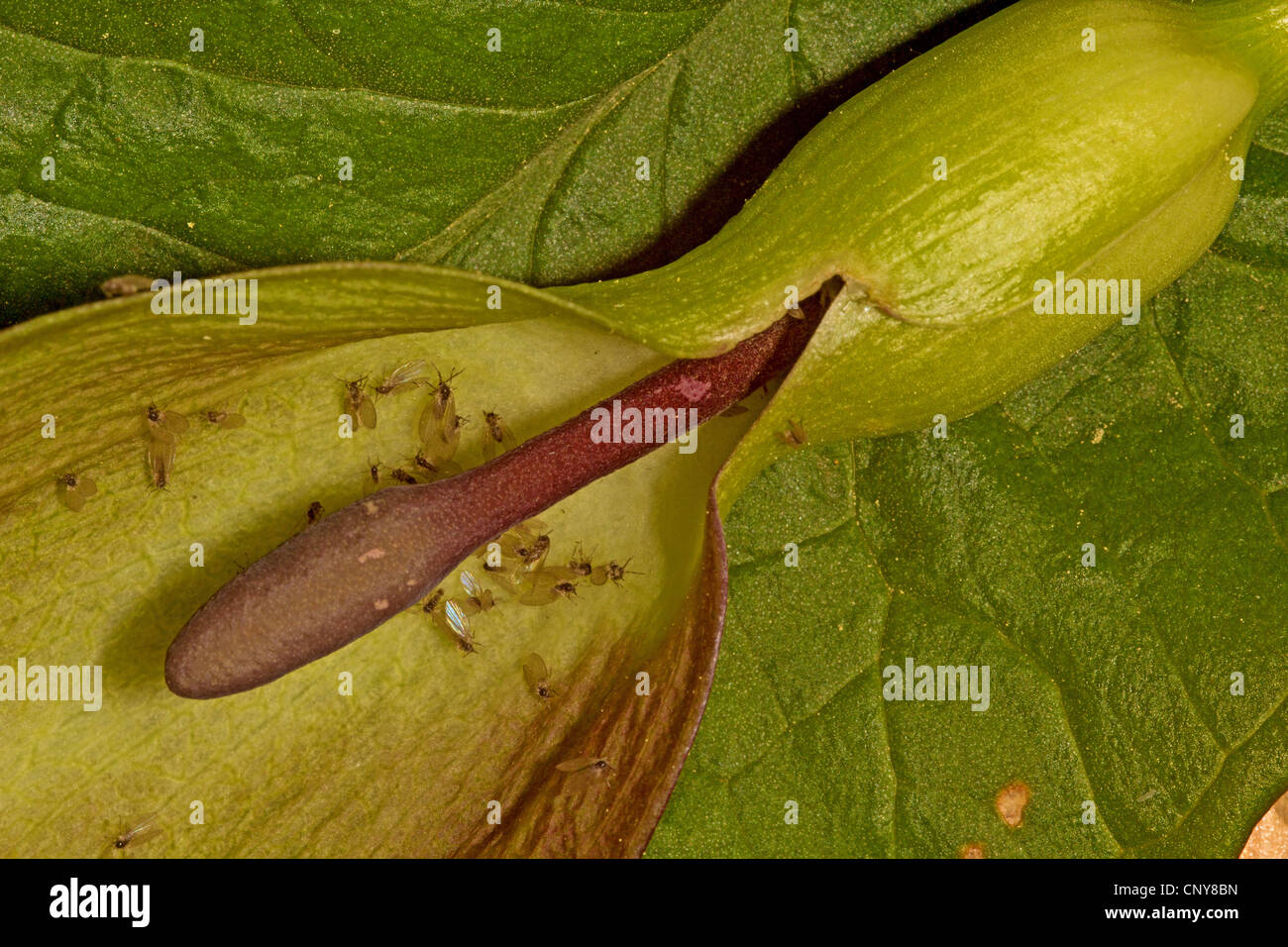 moth flies (Psychoda phalaenoides), siting in an inflorescence of arum, Germany, Bavaria Stock Photo