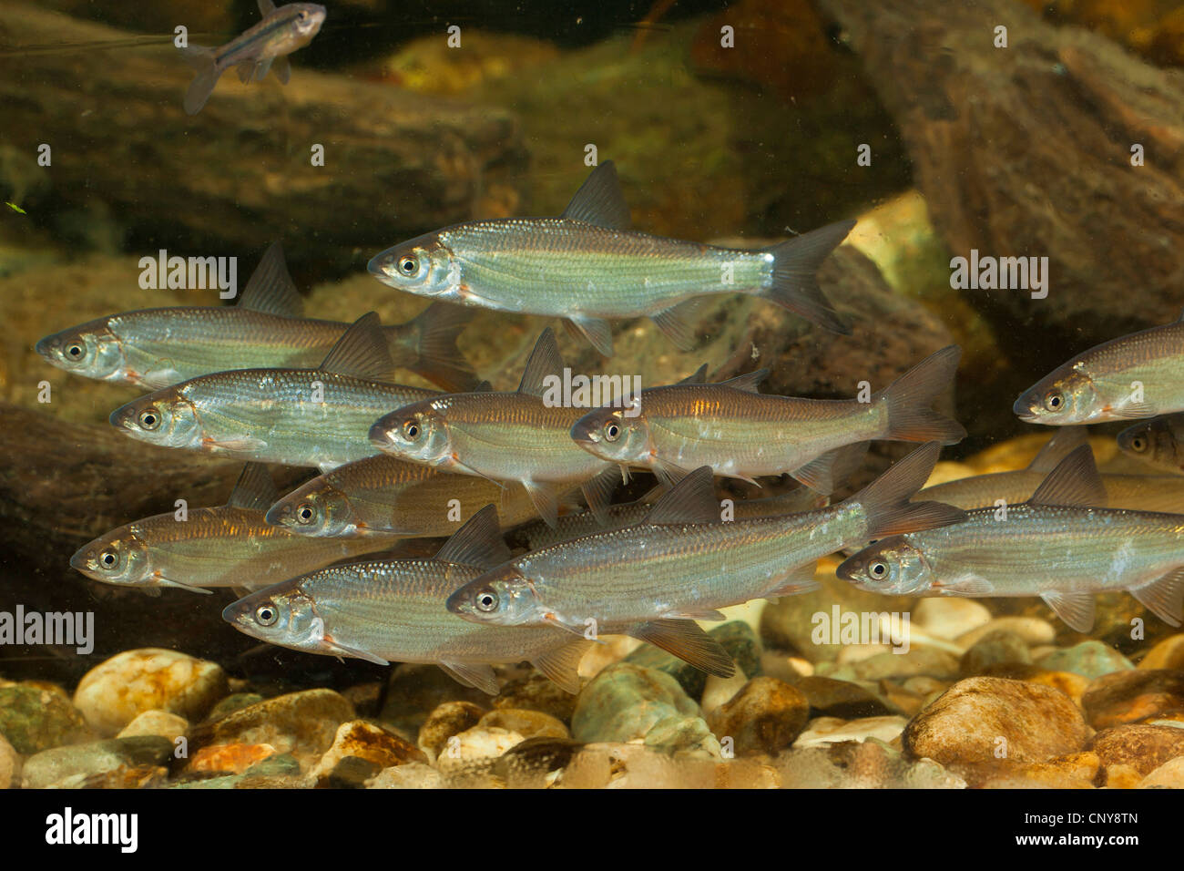 nase (Chondrostoma nasus), shoal of 10 cm long one summer old juveniles - Stock Image