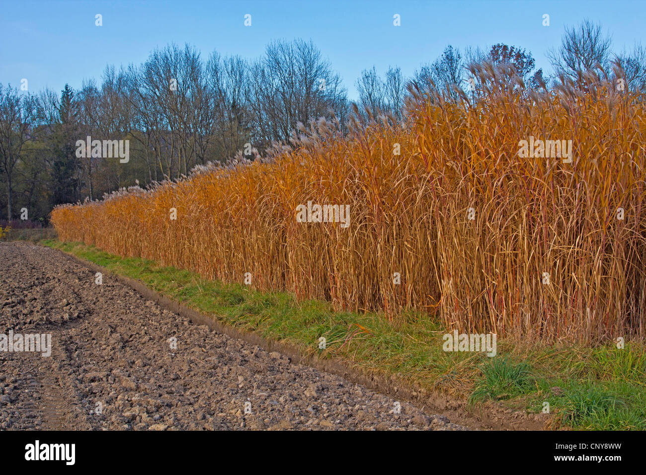 Giant Miscanthus (Miscanthus giganteus, Miscanthus x giganteus), cultivated for biomass production, Germany, Bavaria - Stock Image