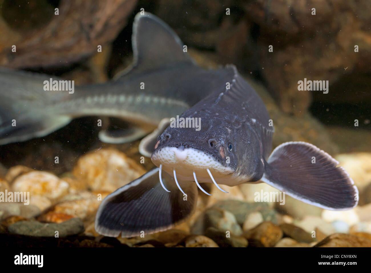 Adriatic sturgeon (Acipenser naccarii), front view - Stock Image