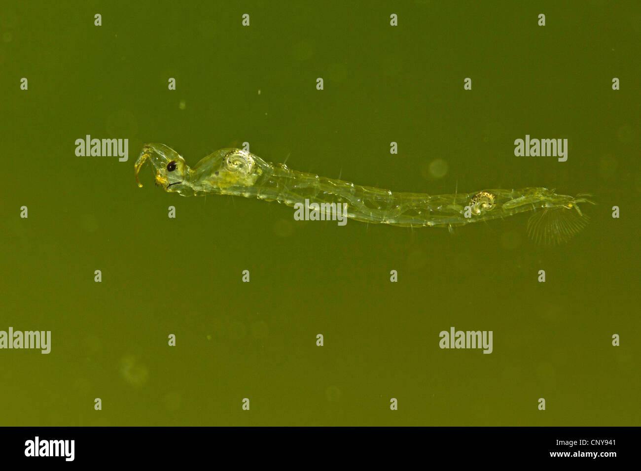 Phantom midge (Chaoborus spec.), larva floating in the water - Stock Image