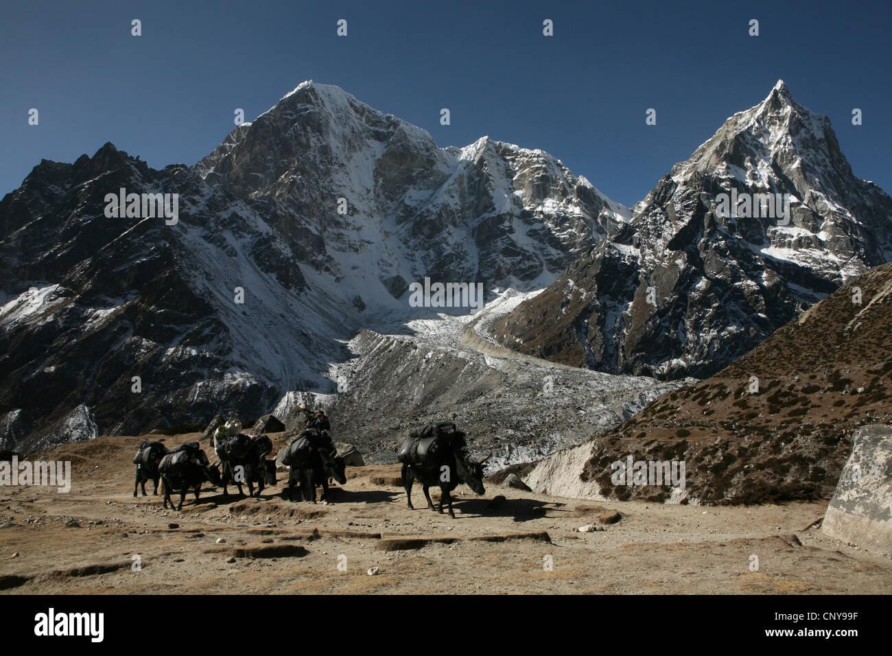 Zopkio caravan in front of Mount Taboche (6,542 m) in Khumbu region in the Himalayas, Nepal. Stock Photo
