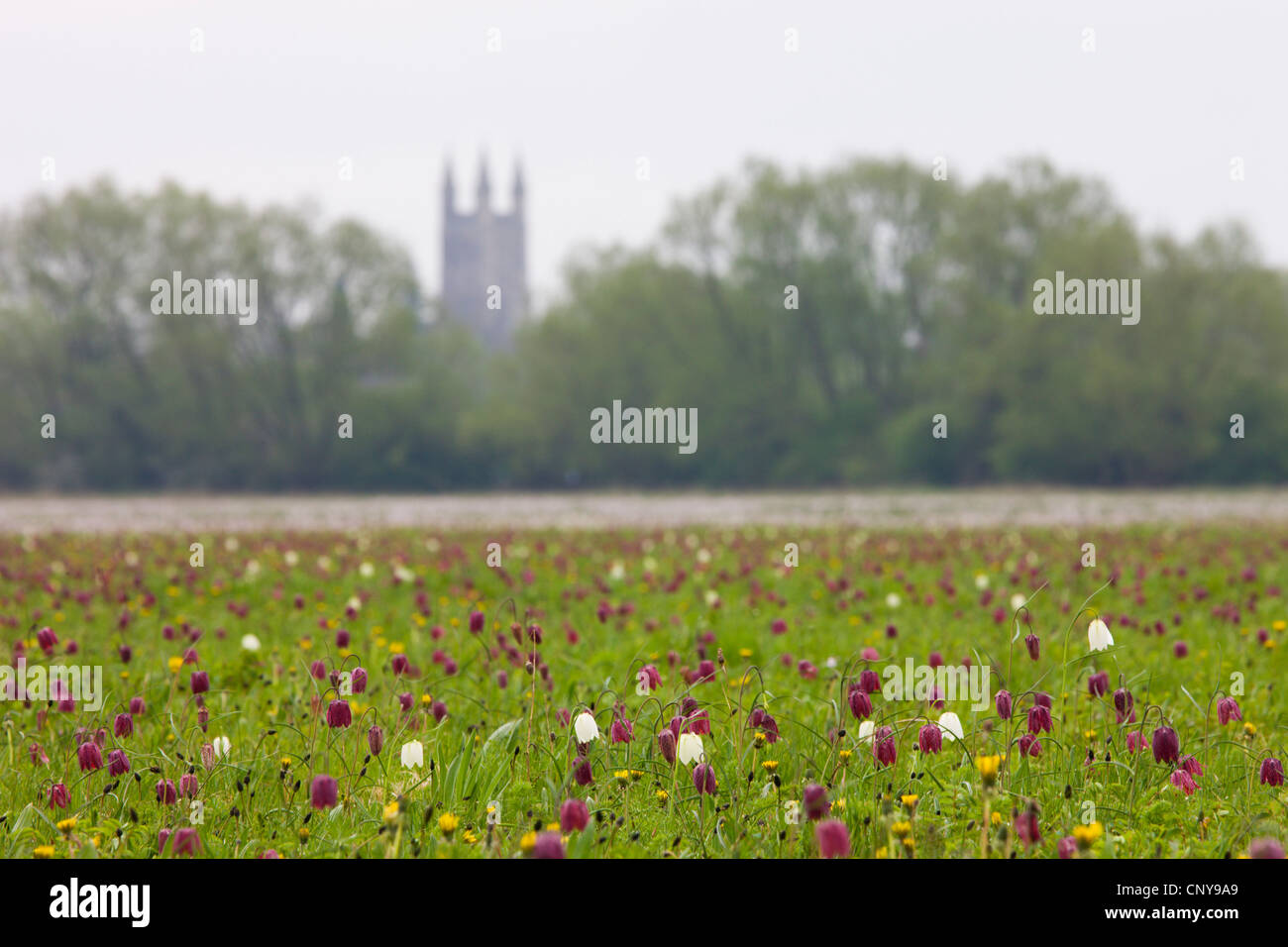 Snake's Head fritillary (Fritillaria meleagris) wildflowers at North Meadow National Nature Reserve, Cricklade, - Stock Image